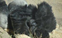 Montaña melenuda Gorilla Laying Down de Aduly con las manos en su cabeza foto de archivo libre de regalías