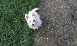 Montaña perrito de Terrier blanco del oeste/de Westie Foto de archivo