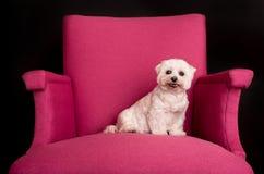 Montaña Terrier blanco del oeste linda que sienta en las butacas rosadas Imagenes de archivo