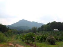 Montaña y viñedo de Currahee Imagenes de archivo