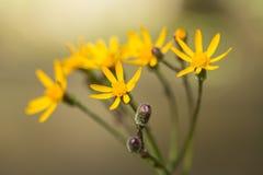 Montañas ahumadas Tennessee del Wildflower amarillo del Ragwort Imagen de archivo