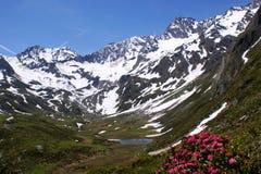 Montañas coronadas de nieve, un lago y rosas alpinas fotos de archivo
