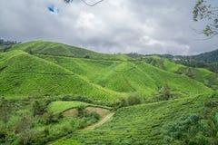 Montañas de Cameron de la plantación de té Fotografía de archivo libre de regalías