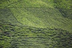 Montañas de Cameron de la plantación de té, Malasia imagenes de archivo