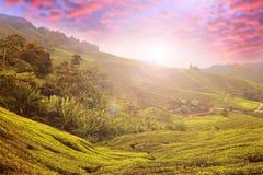 Montañas de Cameron de la plantación de té, Malasia foto de archivo libre de regalías