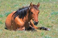 Montañas de un año Montana de Pryor del caballo salvaje Fotos de archivo