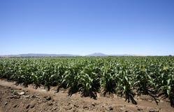 Montañas del cielo y campo de maíz Fotografía de archivo