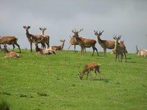 Montañas del escocés de los ciervos rojos Foto de archivo libre de regalías