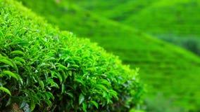 Montañas del jardín de té de Sri Lanka en eliya del nuwara almacen de metraje de vídeo