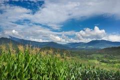 Montañas llenas del campo de maíz con el cielo de azules Imagen de archivo