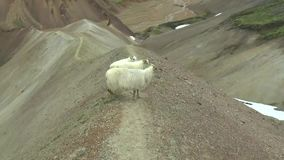 Montañas y ovejas coloridas de Landmanallaugar, en la reserva de naturaleza de Fajllabak en las montañas de Islandia almacen de metraje de vídeo