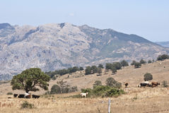 Montañas y vacas de Nebrodi Fotos de archivo libres de regalías