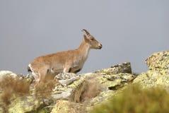 Montañas y fauna de Gredos Foto de archivo libre de regalías