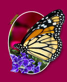 montage μοναρχών πεταλούδων στοκ εικόνα με δικαίωμα ελεύθερης χρήσης