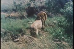Montage of African fauna stock video footage