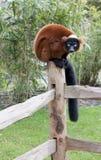 Montage de Lemur sur la frontière de sécurité Image libre de droits