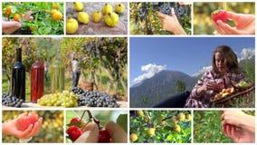 Montage de récolte de fruit banque de vidéos