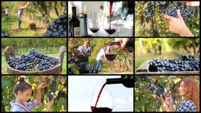 Montage de récolte de raisin banque de vidéos