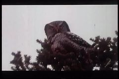 Montage of deer, owl, bear and cougar in the North American wilderness stock video footage