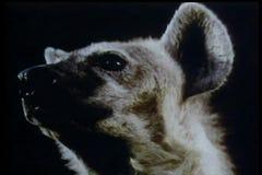 Montage der wild lebenden Tiere - Panther, Hyäne und Gazelle stock footage