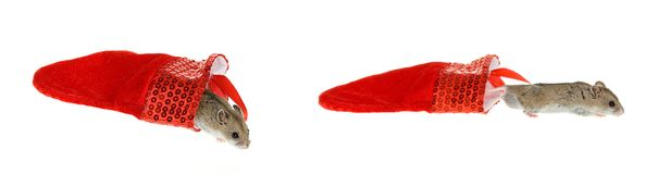 Montage Hamster and Christmas Stocking. Montage with two images of a Hamster Coming out of a Red Christmas Stocking on the Ground, isolated on white Stock Images