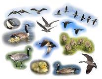Montagem do ganso de Canadá Foto de Stock