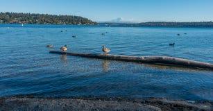 Montagem Rainier And Birds 2 imagem de stock royalty free