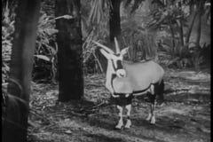 Montageoryx und -Ameisenbär im Dschungel stock video footage