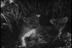 Montagezebras, -elefant, -löwen und -affen im Dschungel stock video