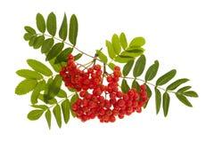 Montagna Ash Berries Fotografia Stock Libera da Diritti
