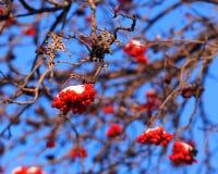 Montagna Ash Berries Immagini Stock