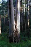 Montagna Ash Eucalyptus - Kalorama, Victoria, Australia Immagine Stock Libera da Diritti