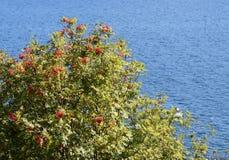 Montagna Ash Tree in pieno con le bacche rosse fotografia stock libera da diritti