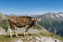 Montagna Austria della mucca Fotografia Stock