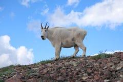 montagna curiosa della capra Immagini Stock Libere da Diritti