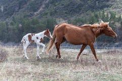 Montagna del cavallo del puledro Fotografie Stock Libere da Diritti
