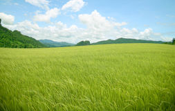 Montagna del riso di agricoltura Fotografie Stock Libere da Diritti