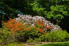 Montagna del rododendro Immagine Stock Libera da Diritti