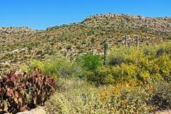Montagna del saguaro sul supporto Lemmon in Tucson Arizona fotografia stock libera da diritti