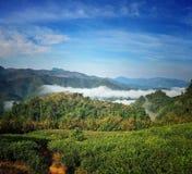 Montagna del tè in XISHUANGBANNA Fotografia Stock