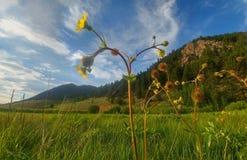 Montagna del Wildflower fotografia stock libera da diritti