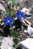 Montagna dell'azzurro della genziana Immagine Stock