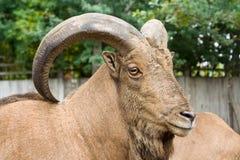 montagna della capra immagini stock libere da diritti