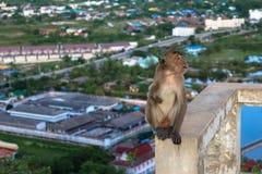 Montagna della scimmia Immagini Stock