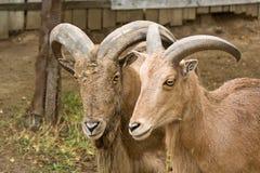 montagna delle capre Immagine Stock