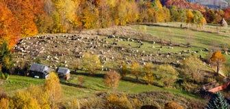Montagna di Autumn Carpathian e gregge delle pecore, Ucraina Fotografia Stock Libera da Diritti