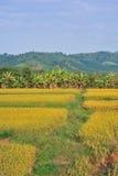 Montagna dorata del giacimento del riso di paesaggio Fotografie Stock Libere da Diritti