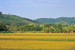 Montagna dorata del giacimento del riso di paesaggio Fotografie Stock