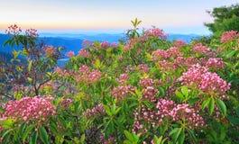 Montagna Laurel Buds North Carolina di Latifolia di Kalmia Immagini Stock Libere da Diritti