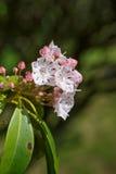 Montagna Laurel Flowers Kalmia Latifolia Fotografia Stock Libera da Diritti